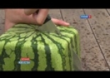 ���������� ������ ������ / Square watermelons Japan / ?????
